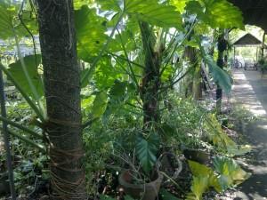 การปลูกไม้ตัดใบชนิดลำต้นเลื้อยให้ยึดเกาะกับไม้ยืนต้น