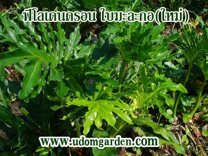 Philodendron super seelum ฟิโลฯใบมะละกอ(ใหม่)