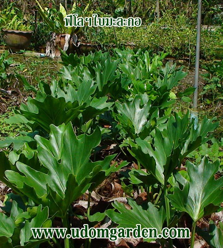 Philodendron super seelum