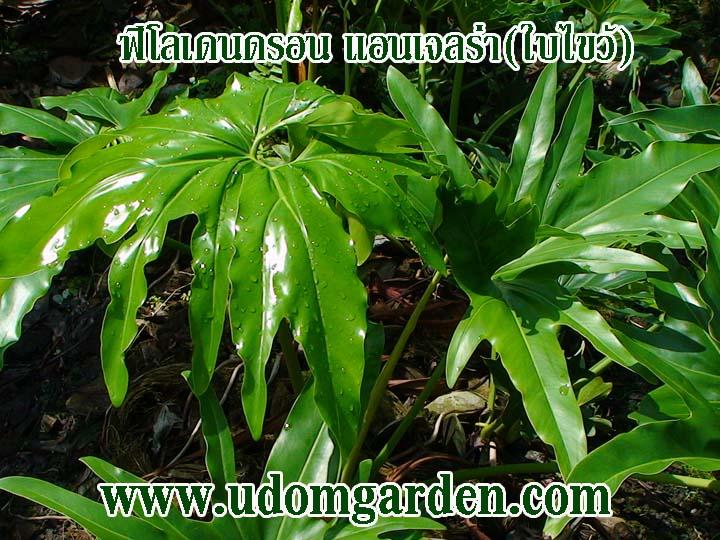ฟิโลเดนดรอน ใบไขว้(Philodendron)angelra