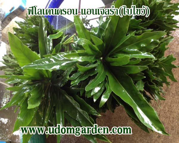 ฟิโลเดนดรอน ใบไขว้(Philodendron angelra)