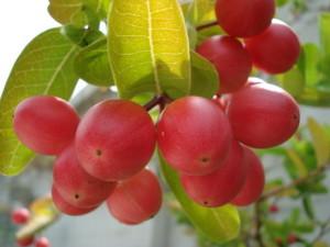ลูกผลมะม่วงหาว มะนาวโห่ ลดความอ้วน