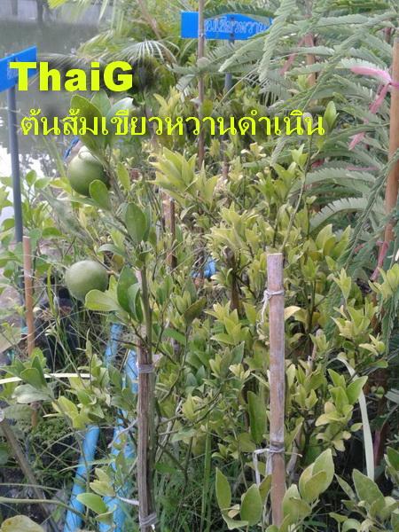 ต้น พันธุ์สมเขียวหวาน ดำเนิน
