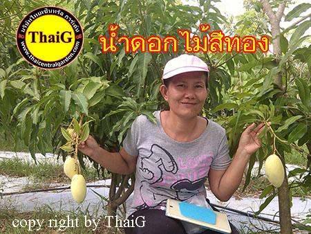 ThaiG สวนมะม่วงน้ำดอกไม้ สีทอง