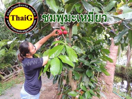 จำหน่ายต้นชมพุ่ มะเหมี่ยว ผลไม้ไทย