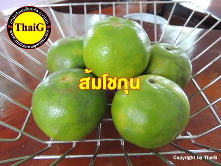 ส้มโชกุน ส้มเขียวหวาน