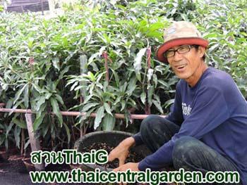 ต้นพันธุ์มะม่วง สวนThaiG
